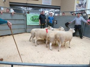 Ballymena 2014 - 1st Prize shearling ewes from RJ Johnston sell at £255.jpg