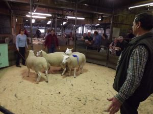 Skipton 2017 - G & A Fort sells 2nd prize shearling ewes - £185.JPG