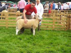Antrim 2014 - 2nd Place Shearling Ewe A. McConville.JPG