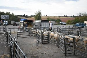 ROW 2018 - more sheep arriving this evening.JPG