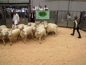 Stirling 2016 - R Johnston & Son sells a ringful of 20 shearling ewes for £170.JPG