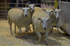 ROW 2020 - JA & R Geldard & Sons sell top price at £198.JPG