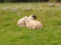 SRUC Blackface ewe with Lleyn x lamb