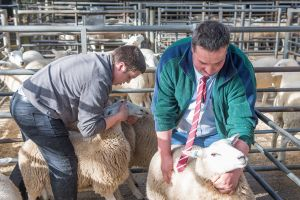Carlisle 2016 - Judges James & Paul assess the females.jpg