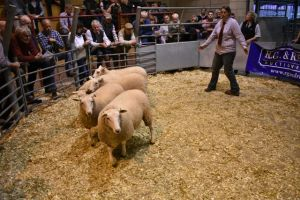 ROW 2018 - Phyl Hale sells ewe lambs donated for charity- Bristol Childrens Hospital raising £1415..JPG