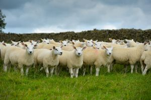 Knowles Sheep feature-7327.jpg