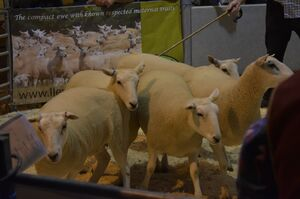 ROW 2020 - J Hamer sells shearling ewes to £165.JPG