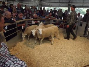 Exeter 2016 - G & A Fort selling shearling ewes to £158.JPG