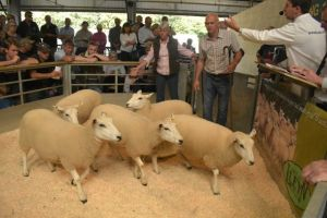 Exeter 2019 - P & S Eckett sell shearling ewes at £162.JPG