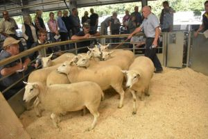 Exeter 2019 - Harpers Holdings sells shearling ewes to £160.JPG