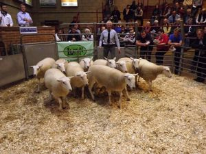 Ross 2017 - HM Wells sells shearling ewes to £180.JPG