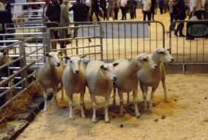 NLSC 2015 - Shearlings out for judging.jpg