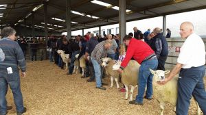 Roscommon 2015 - Judging the rams.jpg