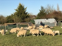 Alan West - Ewes in the sunshine 230320.jpg