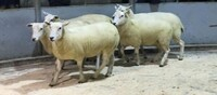 Brecon 2020 - Twose Farms sells shearling ewes to £198.jpeg