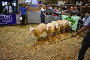 ROW 2018 - DJ Steen sells shearling ewes to top at £190.JPG