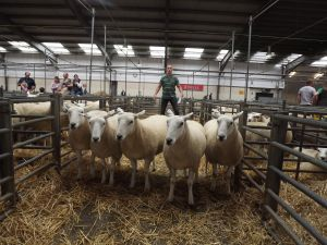 Exeter 2016 - Top priced pen of shearling ewes from WJ & DJ Williams - £192.JPG