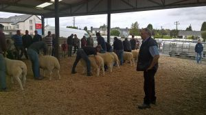 Roscommon - Judge Arfon Hughes studies the rams.jpg