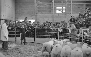 First Lleyn Sheep Sale in Gaerwen (3).jpg