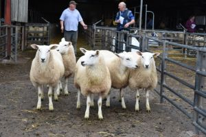 ROW 2018 - Top priced ewes lambs from C Price - £142.JPG