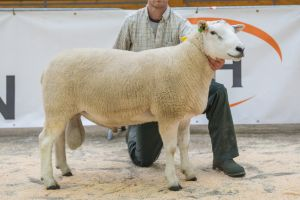 Reserve Champion Lot 17 from R Johnston & Sons sold for 1800gns.jpg