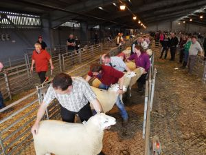 Carmarthen 2015 - Judging the rams.jpg