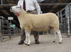 Ross 2017 - Southam Freddie from L Organ sells at 2300gns.JPG