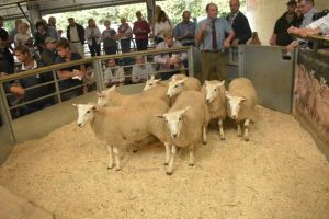 Exeter 2019 - Twose Farms sells ewe lambs for £85.JPG