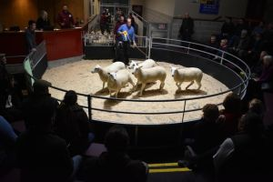 Skipton 2018 - Orchard lleyn sell 3rd prize shearling ewes at £145.JPG