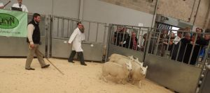 Stirling 2016 - Farmstock Genetics sell 2nd prize ewe lambs at £110.JPG