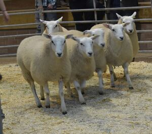 ROW 2020 - WJ & DJ Williams sells ewe lambs to £115.JPG