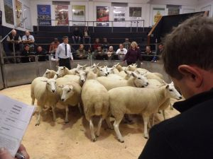 Carlisle 2014 - first shearling ewes into the ring from GH Blakey sell for £185.jpg