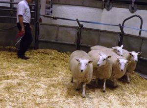Bakewell 2015 - 1st prize ewe lambs from AW Davies - £100.jpg