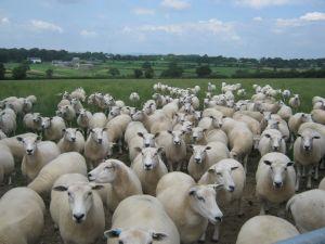 Farm Sell Sheep Near Me